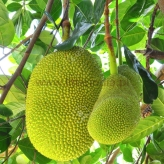 Green Jack Fruit  800g to 1000g